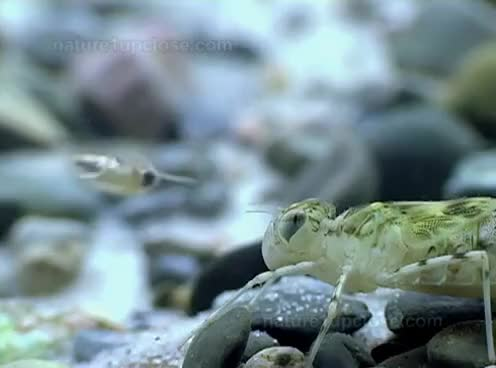 Watch and share Dragonfly Nymph Hunting Backswimmers (#217) GIFs on Gfycat