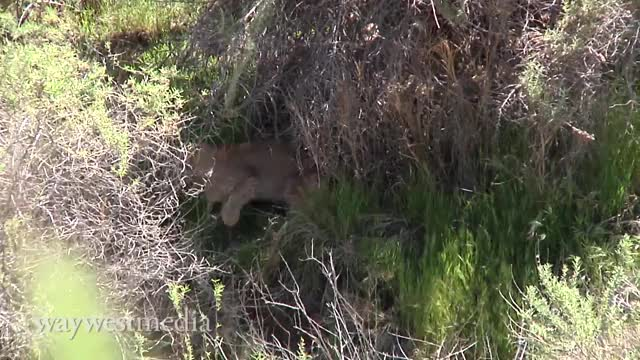 Watch and share Bobcat Vs. Huge Rattlesnake GIFs by Pardusco on Gfycat