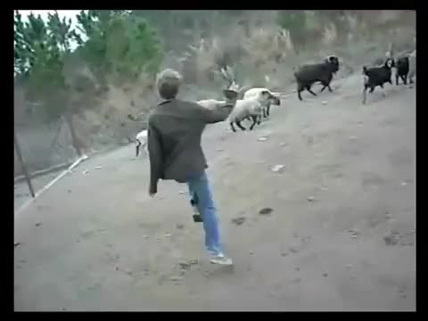 Watch and share Idiot Trying To Fight Some Goats (reddit) GIFs on Gfycat