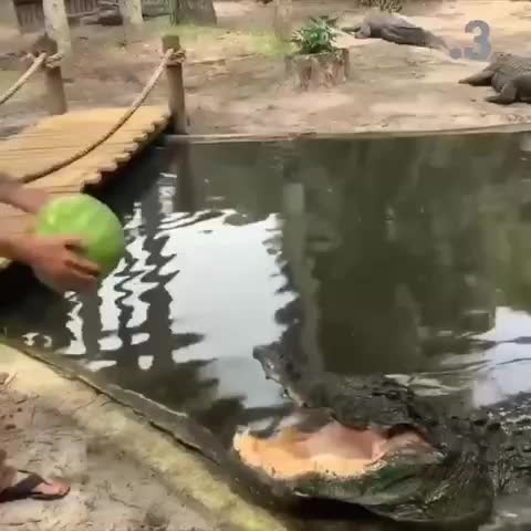 alligator, alligator crushes watermelon, Alligator crushes watermelon GIFs