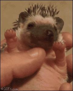 hedgehog, baby hedgehog GIFs