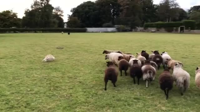 Watch and share Worlds Worst Sheepdog GIFs on Gfycat