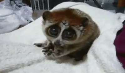 Watch Flacking adorable. GIF on Gfycat. Discover more adorable, animal, cayute, cute, gifs, omfg, tarsier GIFs on Gfycat