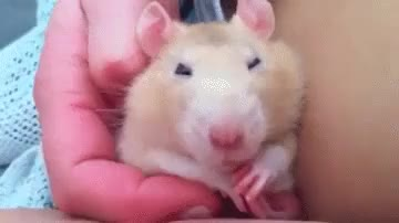 Watch and share Rat GIFs on Gfycat