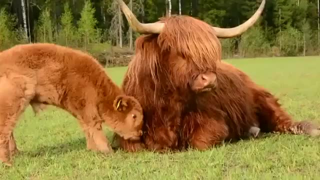 Watch and share Cow GIFs by cakejerry on Gfycat