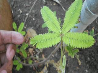 Mimosa Pudica Retreating. • r/oddlysatisfying GIFs