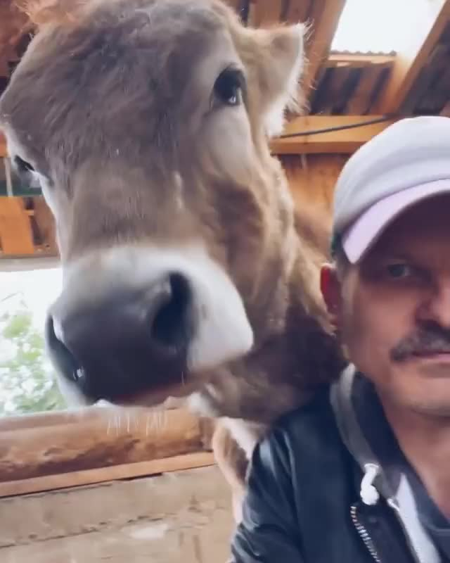 Watch and share Animal Sanctuary GIFs and Rescue Cow GIFs by lnfinity on Gfycat