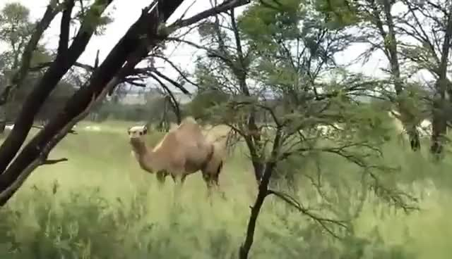 Watch this camel GIF on Gfycat. Discover more camel GIFs on Gfycat