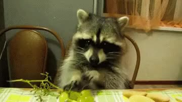 Watch this animal GIF on Gfycat. Discover more animal, animals, raccoon, racoon GIFs on Gfycat