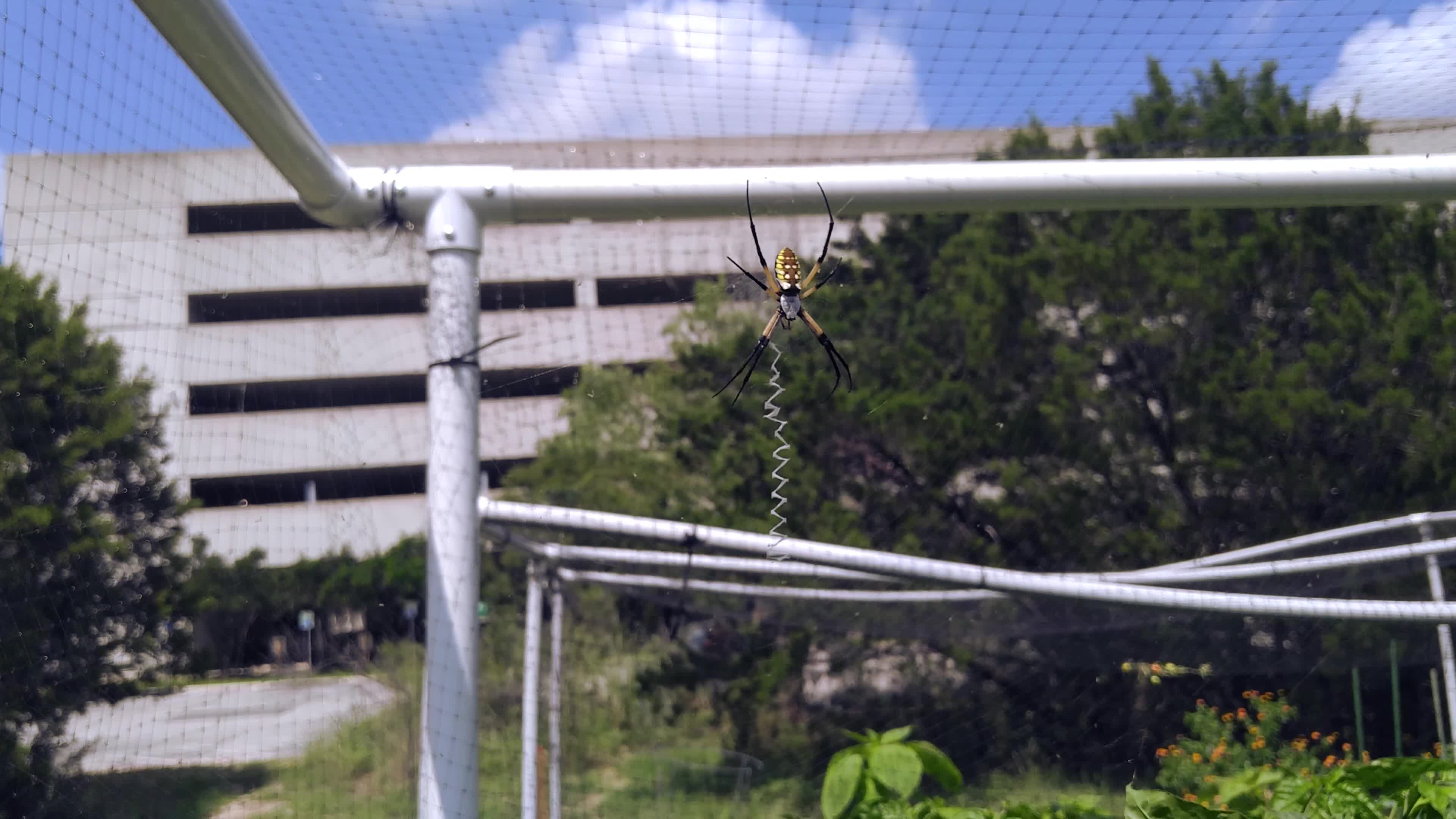Yellow garden spiderbro (Argiope aurantia) quickly wrapping up a grasshopper GIFs