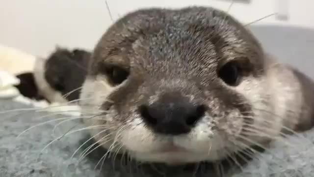 Watch and share Cutest.otters 20191218 1 GIFs by ekwjwjshshdjd on Gfycat