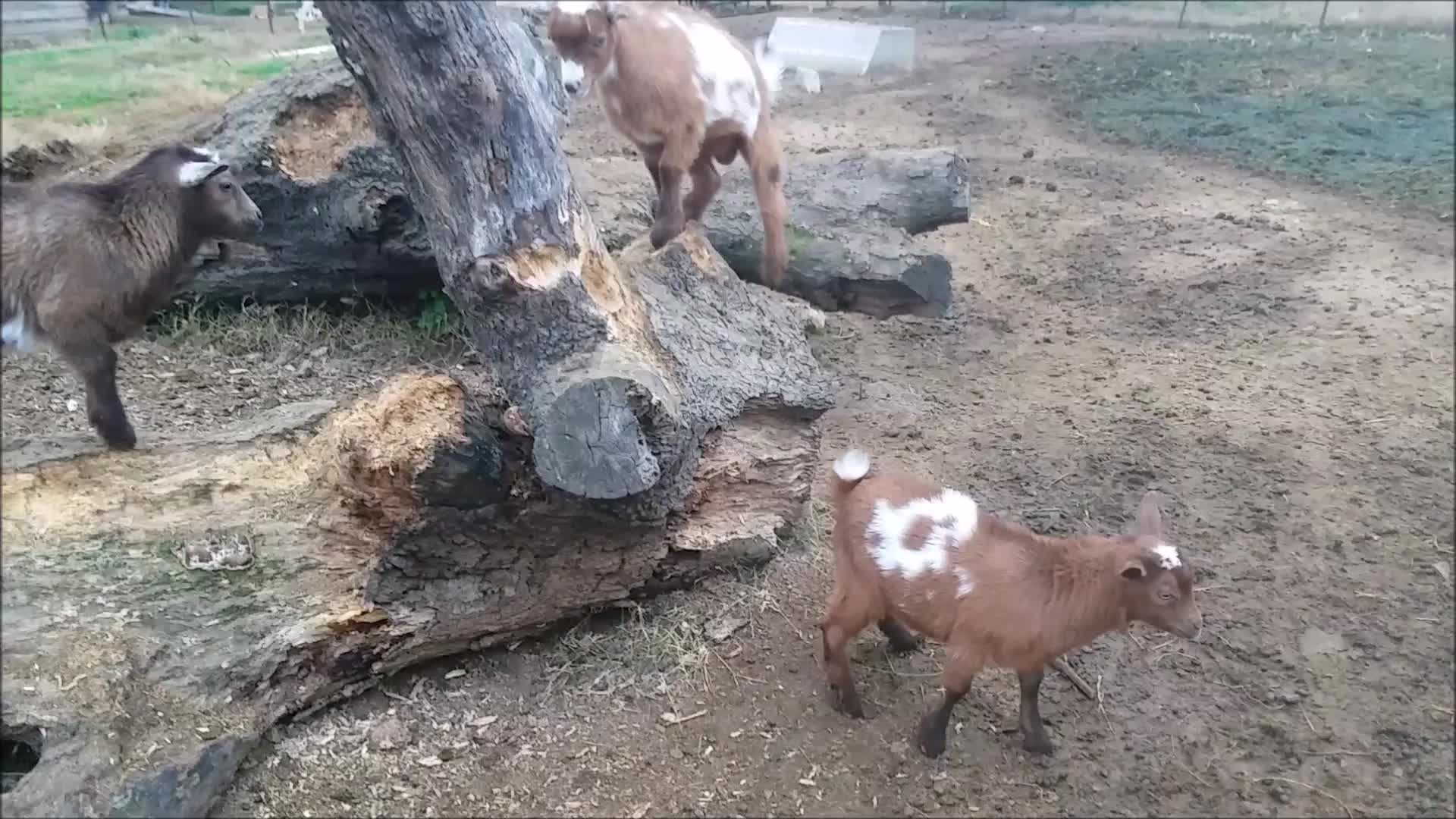 aww, eyebleach, goat, goatparkour, goats, knsfarm, Turn Around GIFs