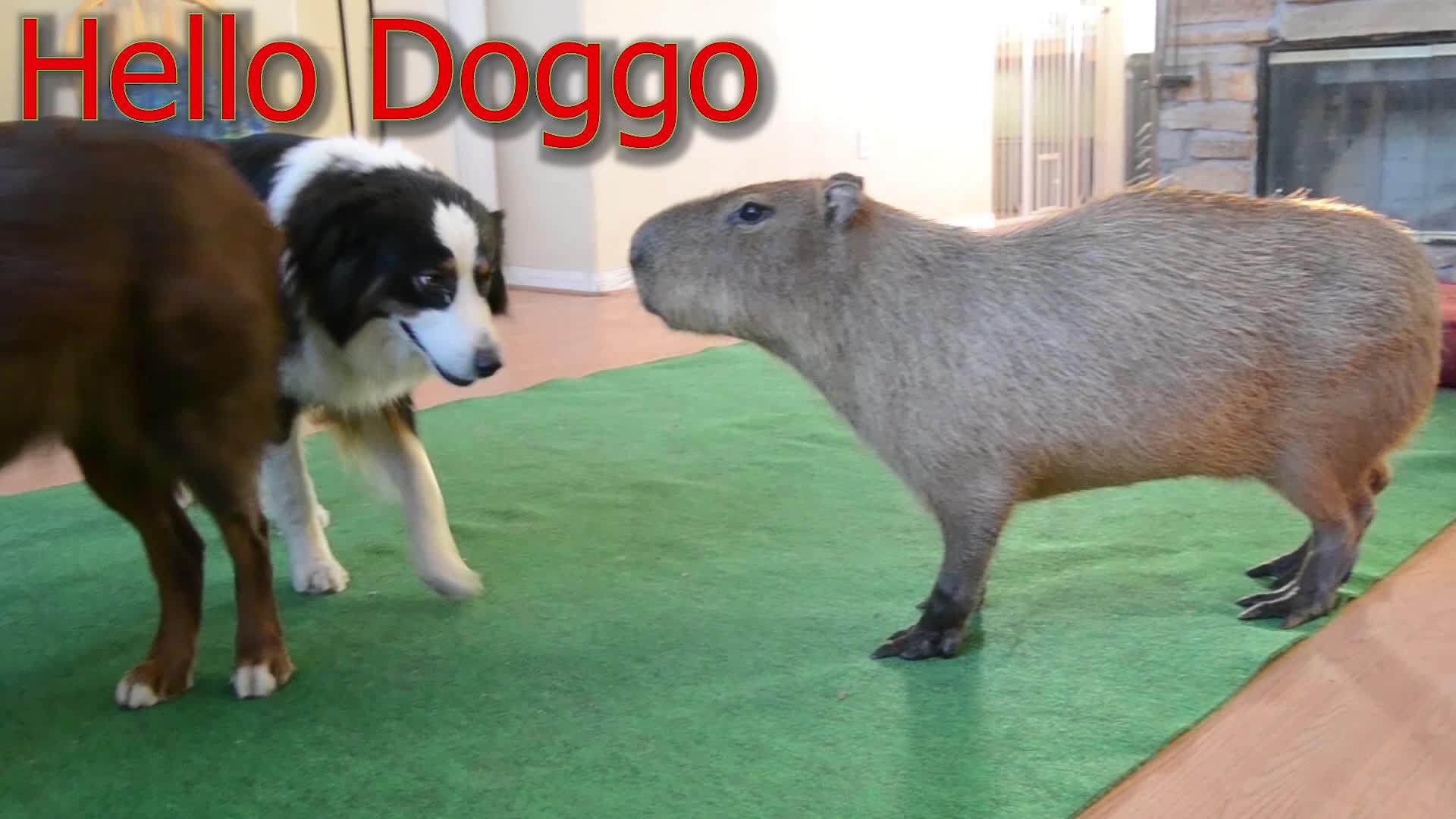 capybara, crazy cody's creatures, dogs, entertainment, Capybara and Doggo GIFs