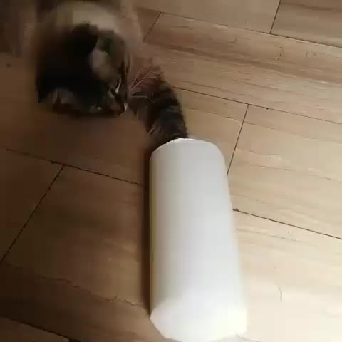 cat, cats, derp, funny, Kitty just can't resist GIFs