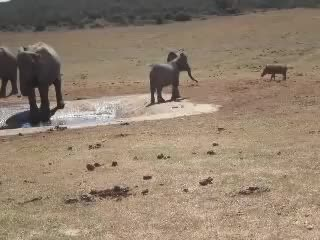 Watch and share Baby Elephant Chases Away Warthog From Waterhole GIFs by ShaneH7646 on Gfycat