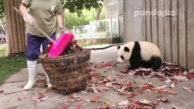 Watch panda cub GIF on Gfycat. Discover more related GIFs on Gfycat