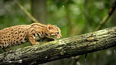 Watch and share 세상에서 가장 작은 고양이과 동물 GIFs on Gfycat