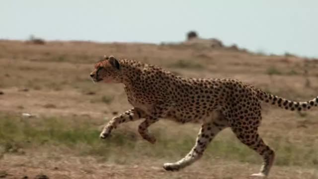 Watch and share Cheetah GIFs by toegewyde on Gfycat