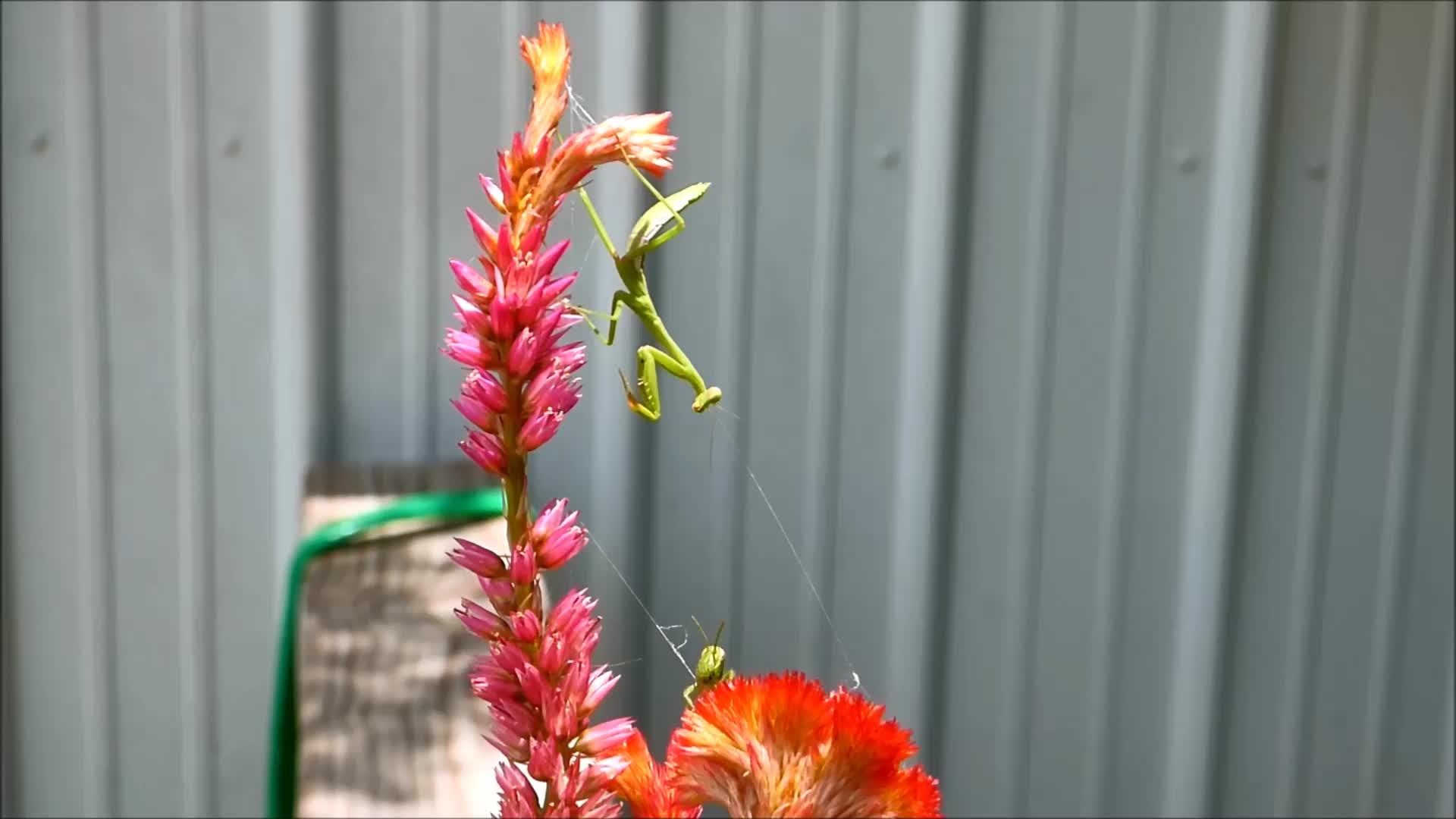 cool, knsfarm, mantids, natureislit, praying mantis, Praying Mantis Hunt GIFs