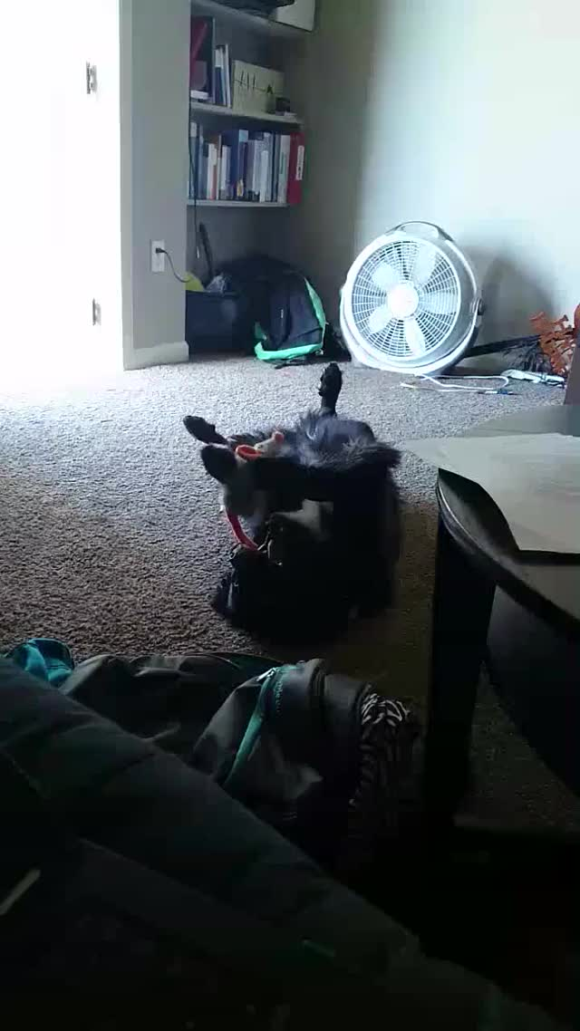 My wiggle butt likes to play with her toy mouse like a cat