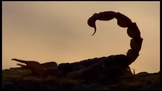 Watch Scorpions. Fight. Скорпионы. Драка. GIF on Gfycat. Discover more Action, Adventure, Insect, animal, bird, fight, wildlife GIFs on Gfycat