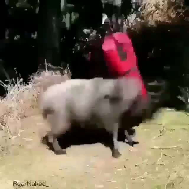 Watch and share Goat Hates This Punching Bag. GIFs by LimeLights  on Gfycat
