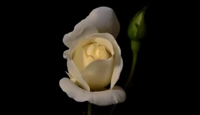 Watch and share Blooming White Rose Flower - Timelapse GIFs on Gfycat