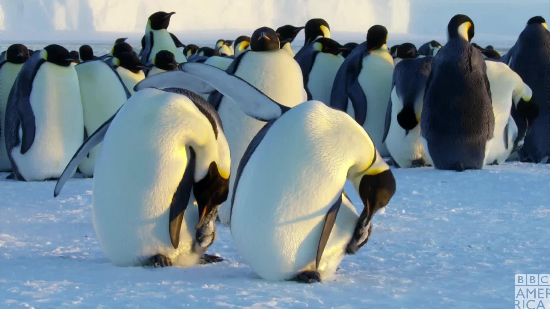 animal, animals, bbc america, bbc america dynasties, bbc america: dynasties, dynasties, emperor penguin, emperor penguins, hmmm, i don't care, i dont care, idc, lazy, meh, penguin, penguins, Dynasties Penguin Scratching GIFs