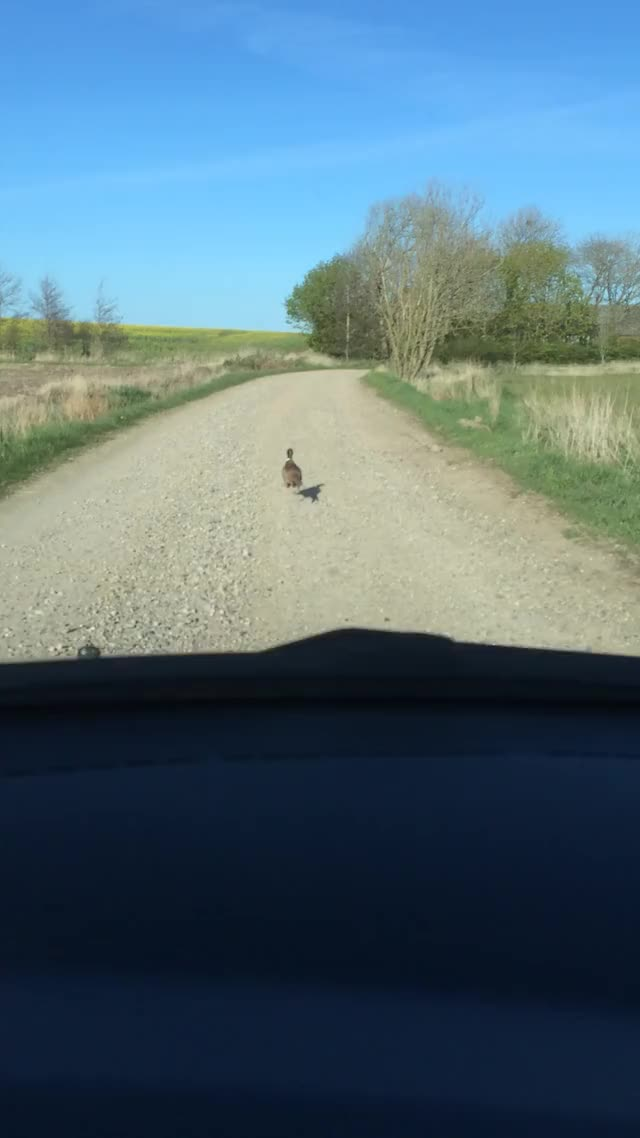 Watch and share Met A Pheasant On The Way Home. He Was Busy. GIFs on Gfycat