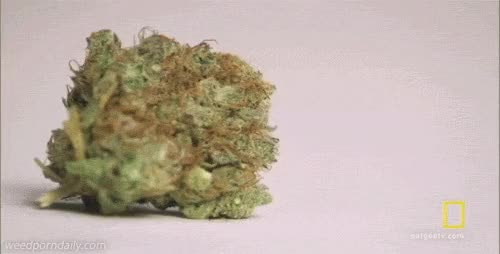 Watch and share National Geographic GIFs and Medical Marijuana GIFs by WeedPornDaily on Gfycat