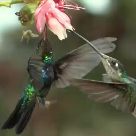 funny, nature, aww, Bumblebee smacked by hummingbird GIFs