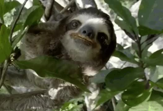 Watch and share Sloth ClimbiNg GIFs on Gfycat