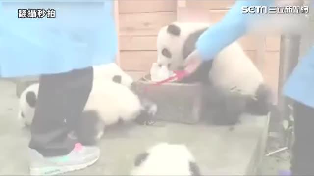 Watch Irish panda GIF on Gfycat. Discover more related GIFs on Gfycat