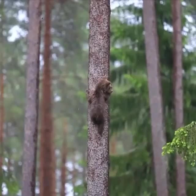 Watch and share Baby Bears Climbing In The Woods GIFs by Jackson3OH3 on Gfycat