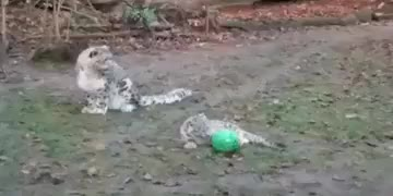 Watch and share Momma Snow Leopard Wants To Play Too GIFs on Gfycat