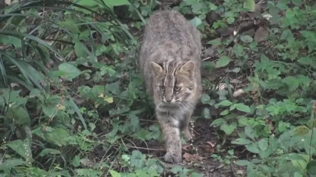 Watch and share Small Wild Cat GIFs and Animals GIFs by likkaon on Gfycat
