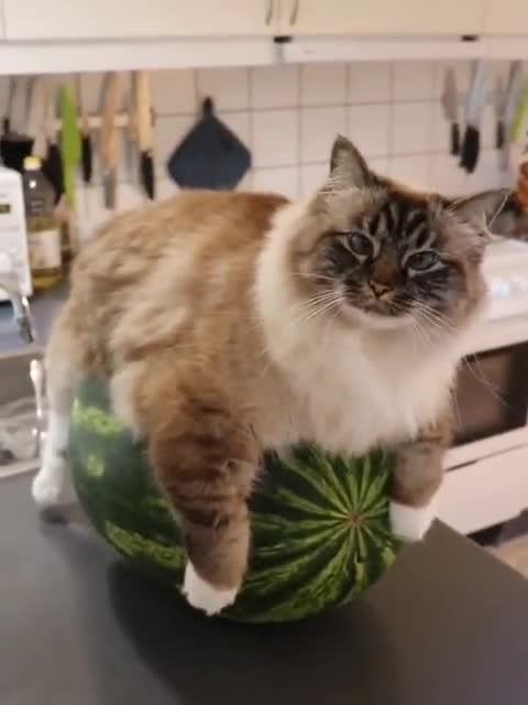 Watch and share Watermelon GIFs and Cat GIFs by nyctilaur on Gfycat