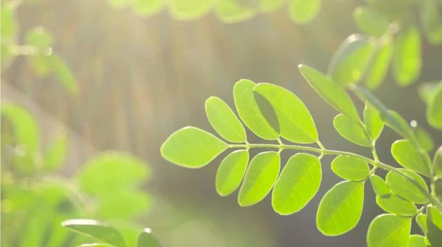 Watch and share Moringa Oleifera GIFs and Moringa Powder GIFs by A Healthy Leaf on Gfycat