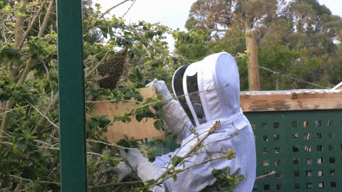 Eddie Naude collects bees after work. GIF: Laura Meachim GIFs