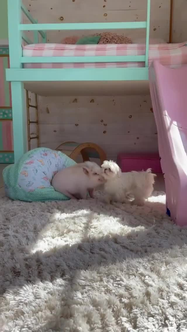 Watch and share Doggy And Piggy GIFs by lnfinity on Gfycat