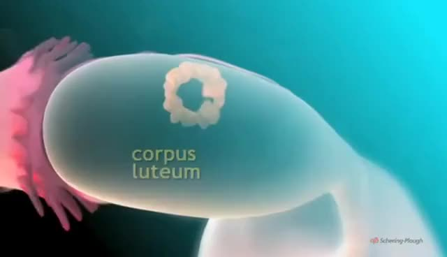 Watch The Menstrual Cycle 3D Animation GIF on Gfycat. Discover more Corpus, leutum, menstruation GIFs on Gfycat