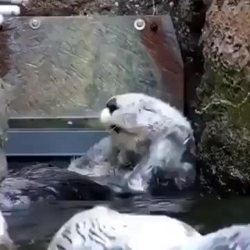 Watch this animal GIF on Gfycat. Discover more animal, animals, otter GIFs on Gfycat