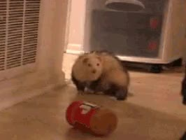 Watch ferret eater gif.gif GIF by Streamlabs (@streamlabs-upload) on Gfycat. Discover more related GIFs on Gfycat