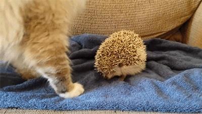 animals, cat, hedgehog, Hedgehog GIFs