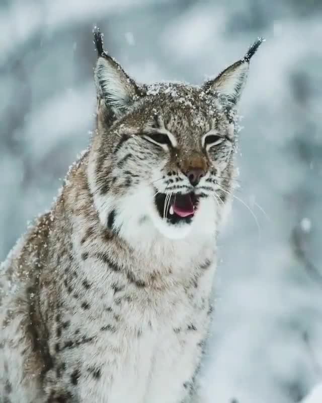 cat, cute, roar, yawn, Yawn GIFs