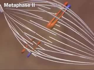 Watch Anaphase GIF on Gfycat. Discover more biology, dna, science GIFs on Gfycat