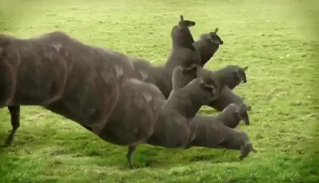 Watch and share Cows & Cows & Cows Spider GIFs on Gfycat