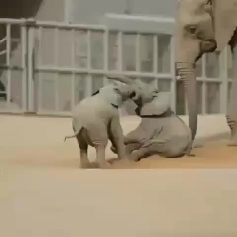 Watch Baby elephant wrestling match GIF by PM_ME_STEAM_K3YS (@pmmesteamk3ys) on Gfycat. Discover more related GIFs on Gfycat