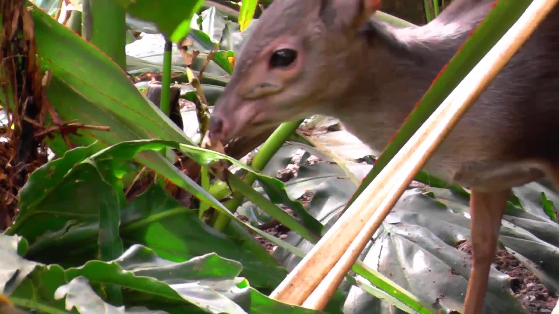 Awwducational, cute antelope, duiker, Cute blue duiker - the smallest antelope in South Africa GIFs