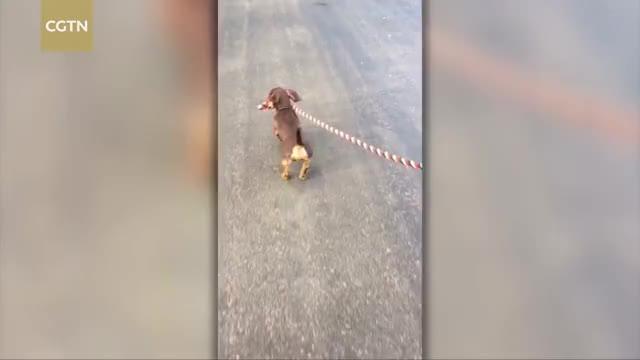 Watch Dog leading horse GIF on Gfycat. Discover more Dog, Lead, Walk, cctvnews, cgtn, footage, horse, news GIFs on Gfycat